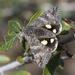 Litocala sexsignata - Photo (c) Susan Elliott, algunos derechos reservados (CC BY-NC)