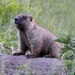 Marmota kastschenkoi - Photo (c) Evgeny Boginsky, algunos derechos reservados (CC BY-NC)