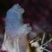 Ascidiella aspersa - Photo (c) Gonzalo Bravo, μερικά δικαιώματα διατηρούνται (CC BY-NC)