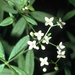Bluntleaf Bedstraw - Photo Robert H. Mohlenbrock. USDA SCS. 1989. Midwest wetland flora: Field office illustrated guide to plant species. Midwest National Technical Center, Lincoln. Courtesy of USDA NRCS Wetland Science Institute., no known copyright restrictions (public domain)