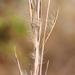 Andropogon virginicus - Photo (c) Alvin Diamond, algunos derechos reservados (CC BY-NC)