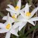 Leucocrinum montanum - Photo (c) Brent Miller, algunos derechos reservados (CC BY-NC-ND)