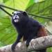 Saguinus fuscicollis weddelli - Photo (c) Edson Guilherme, algunos derechos reservados (CC BY-NC)