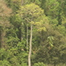 Cavanillesia platanifolia - Photo (c) Mateo Hernandez Schmidt, μερικά δικαιώματα διατηρούνται (CC BY-NC-SA)
