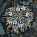 Serpentine Springbeauty - Photo (c) dgreenberger, some rights reserved (CC BY-NC-ND)
