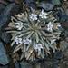 Claytonia exigua - Photo (c) dgreenberger, algunos derechos reservados (CC BY-NC-ND)