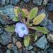 Phacelia divaricata - Photo (c) dgreenberger, algunos derechos reservados (CC BY-NC-ND)