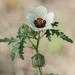Hibiscus trionum - Photo (c) Dan Lory, alguns direitos reservados (CC BY-NC)