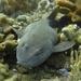 Tiburón Ciego de Roca - Photo (c) mick613, algunos derechos reservados (CC BY-NC)