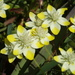 Platystemon californicus - Photo (c) Tom Hilton, algunos derechos reservados (CC BY)