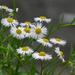 Erigeron annuus - Photo (c) Dinesh Valke, algunos derechos reservados (CC BY-NC-SA)