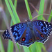 Royal Blue Pansy - Photo (c) Erland Refling Nielsen, some rights reserved (CC BY-NC)