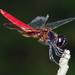 Aethriamanta brevipennis - Photo (c) Vijay Anand Ismavel, algunos derechos reservados (CC BY-NC-SA), uploaded by Dr. Vijay Anand Ismavel MS MCh