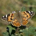 Painted Lady - Photo (c) Anna Nicola Chapman, some rights reserved (CC BY)