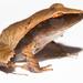 Craugastoridae - Photo (c) Brian Gratwicke,  זכויות יוצרים חלקיות (CC BY)