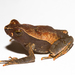 Leaf Litter Toad - Photo (c) Brian Gratwicke, some rights reserved (CC BY)