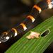 Pliocercus euryzonus - Photo (c) Brian Gratwicke,  זכויות יוצרים חלקיות (CC BY)