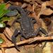 Tityus pachyurus - Photo (c) Brian Gratwicke, algunos derechos reservados (CC BY)