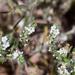Johnstonella angustifolia - Photo (c) jill goodell, algunos derechos reservados (CC BY-NC-SA)