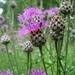 Centaurea scabiosa - Photo (c) Aleksandr Ebel, algunos derechos reservados (CC BY-NC)