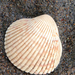 Nuttall's Cockle - Photo (c) robberfly, some rights reserved (CC BY-NC), uploaded by Liam O'Brien