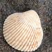 Clinocardium nuttallii - Photo (c) robberfly,  זכויות יוצרים חלקיות (CC BY-NC), uploaded by Liam O'Brien
