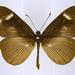 Acraea paragea - Photo (c) Thomas Desloges, algunos derechos reservados (CC BY-NC)