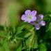 Geranium maculatum - Photo (c) Mark Kluge, algunos derechos reservados (CC BY-NC-ND)