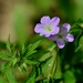 Wild Geranium - Photo (c) Mark Kluge, some rights reserved (CC BY-NC-ND)