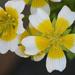 Limnanthes douglasii - Photo (c) Philip Bouchard, algunos derechos reservados (CC BY-NC-ND)