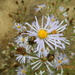 Symphyotrichum subspicatum - Photo (c) sarahnwilson, μερικά δικαιώματα διατηρούνται (CC BY-NC)