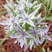 Frasera albicaulis - Photo (c) crunger70, algunos derechos reservados (CC BY-NC)