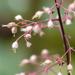 Heuchera micrantha - Photo (c) Doris, algunos derechos reservados (CC BY-NC-SA)