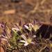 Orcutt's Brodiaea - Photo (c) Smithsonian Institution, National Museum of Natural History, Department of Botany, some rights reserved (CC BY-NC-SA)