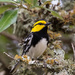 Golden-cheeked Warbler - Photo (c) Greg Lasley, some rights reserved (CC BY-NC)