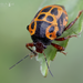 Anchor Stink Bug - Photo (c) Eduardo Axel Recillas Bautista, some rights reserved (CC BY-NC)