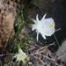 Narcissus cantabricus - Photo (c) gailhampshire, algunos derechos reservados (CC BY)
