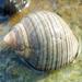 Littorina littorea - Photo (c) Robin Gwen Agarwal, μερικά δικαιώματα διατηρούνται (CC BY-NC)