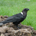 White-necked Raven - Photo (c) David Schenfeld, some rights reserved (CC BY-NC-ND)