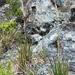 Andropogon eremicus - Photo (c) dgreenberger, algunos derechos reservados (CC BY-NC-ND)