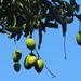 Mango - Photo (c) 葉子, algunos derechos reservados (CC BY-NC-ND)