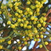 Warty Mistletoe - Photo (c) tjeerd, some rights reserved (CC BY-NC)