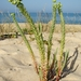 Sea Spurge - Photo (c) Valter Jacinto   Portugal, some rights reserved (CC BY-NC-SA)