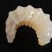 Dolichomitus mesocentrus - Photo (c) Gilles San Martin, alguns direitos reservados (CC BY-SA)
