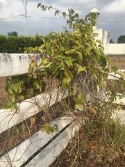 Image of Passiflora edulis