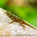 Barahona Gracile Anole - Photo (c) Ron Savage, some rights reserved (CC BY-NC-SA)