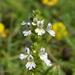 Euphrasia officinalis - Photo (c) Наталья Еромасова, μερικά δικαιώματα διατηρούνται (CC BY-NC)