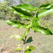 Empogona ovalifolia - Photo (c) Rahaingoson Fabien, alguns direitos reservados (CC BY-NC)