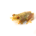 Longnose Reed Frog - Photo (c) Brian Gratwicke, some rights reserved (CC BY)