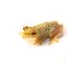 Hyperolius nasutus - Photo (c) Brian Gratwicke,  זכויות יוצרים חלקיות (CC BY)